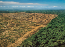 This is one of scores of Borneo rainforests that have been clearcut for commercial palm oil plantations for export.